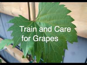 train and care for grapes cold hardy frontenac and concord