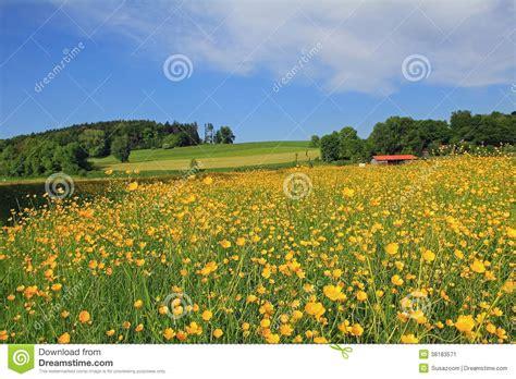 landscape orientation german beautiful buttercup meadow german landscape royalty free