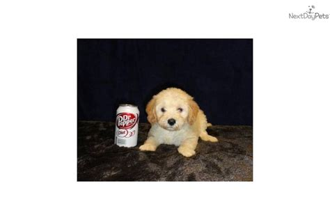 getting a puppy at 6 weeks meet willow s 2 a goldendoodle puppy for sale for 900 mini 12 20 lbs