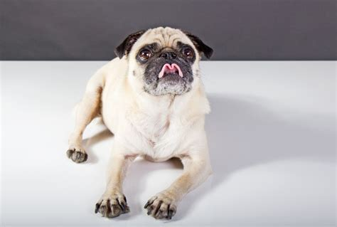 how to potty a pug puppy positive tips on how to potty an so you ll less messes in your home