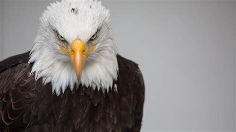 wallpaper 4k eagle bald eagle 4k ultra hd wallpaper and background image