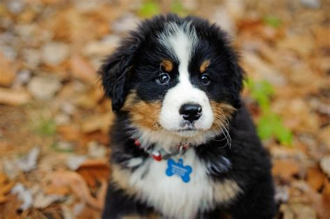 bernese mountain maine 1000 images about bernese mountain dogs on pets proud and puppys
