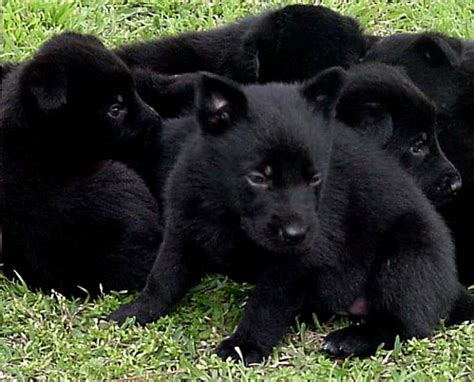 black german shepard puppy black german shepherd puppies 32 wide wallpaper dogbreedswallpapers
