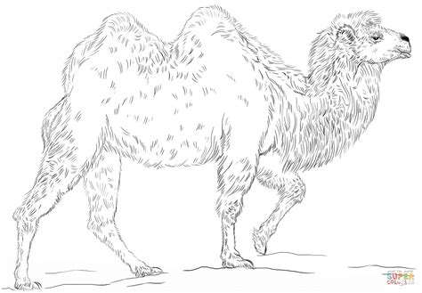 Bactrian Camel Coloring Page Free Printable Coloring Pages Camels Coloring Pages