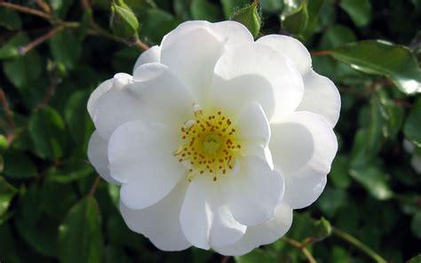 imagenes flores blancas fotos de flores blancas fotoswiki net