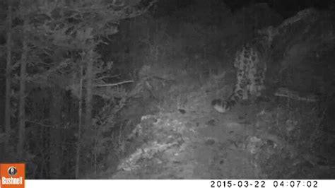imagenes insolitas youtube первое видео ирбиса в национальном парке сайлюгемский