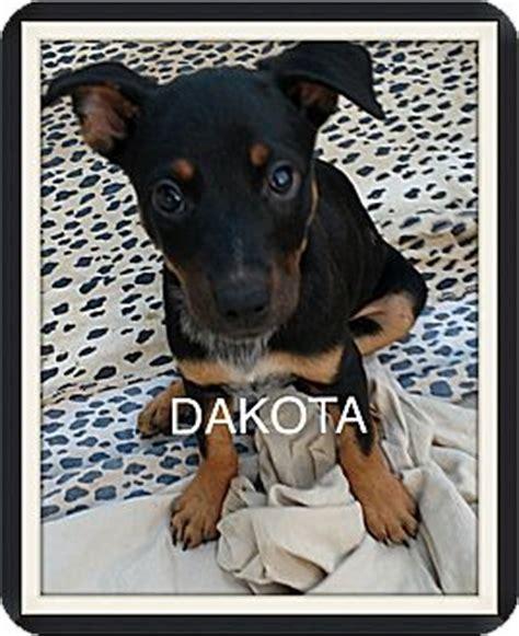 blue heeler rottweiler mix information tempe az rottweiler blue heeler mix meet dakota a puppy for adoption
