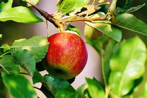 apfelbaum garten kostenloses foto apfel baum obst apfelbaum