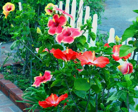 hibiscus garten valley hibiscus how to build a drip watering system