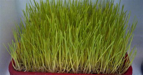 menanam rumput hidroponik rumput gandum wheatgrass menanam rumput gandum di kulkas
