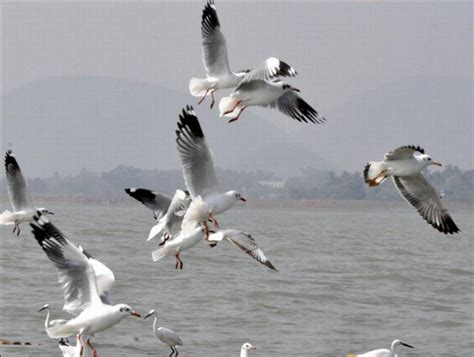 migratory birds stay put in chilika despite heat rediff
