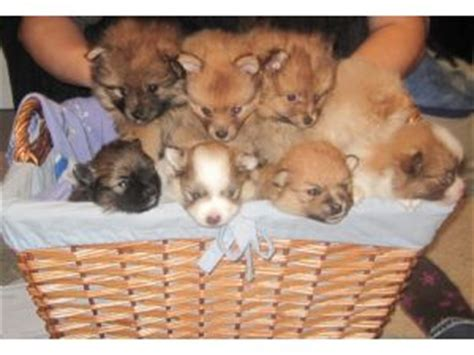 omaha puppies for sale pomeranian puppies for sale