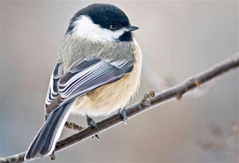small backyard birds marsh tit songbirds slaughter