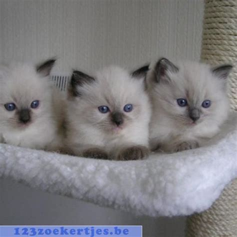 2 ragdoll kittens ragdoll kittens te koop