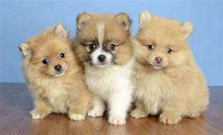 Puppies For Sale Puppies For Sale Orlando Fl Justpuppies Net