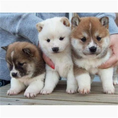 shiba inu puppies home raised shiba inu puppies offer