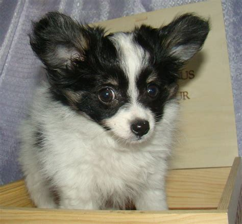 pictures of papillon dogs puppy breeds photos