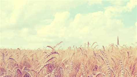 computer themes soft soft wheat field hd wallpaper 187 fullhdwpp full hd