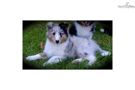 sheltie puppies mn shetland sheepdog sheltie puppy for sale near mankato minnesota 00d00afc 2641