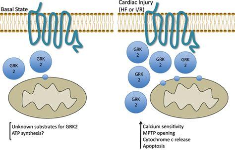 g protein receptor kinase g protein coupled receptor kinase 2 circulation research