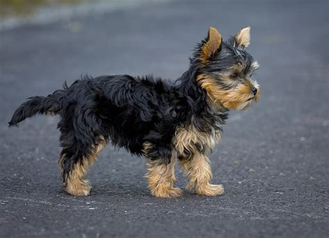 traits of a yorkie chorkie chihuahua yorkie mixe breed profile what you need to