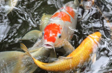 Makanan Ikan Hias Naga all about koi fish facts koi story