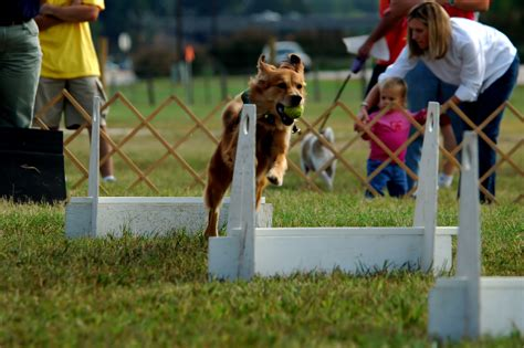 golden retriever contest golden retriever in competition photo and wallpaper beautiful golden retriever