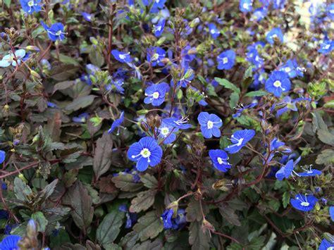 Ga Blue Umbrosa Blue Vancouver Island Grows