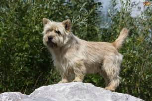 hair cuts for cairns terriers grooming and caring for the cairn terrier pets4homes