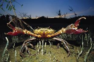Home Design Plans Online giant mud crab scylla serrata photograph by cyril ruoso