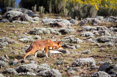 stalking wolf burrard lucas photography