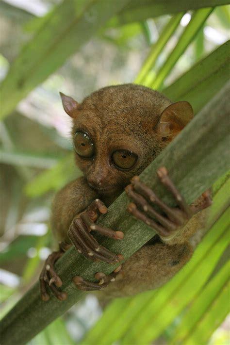 tarsier wikipedia