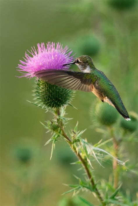 hummingbird and thistle by david allan feathered friends