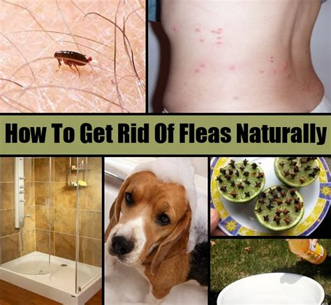 how to get rid of fleas naturally diy home things