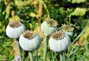 Opium efectos del opio informaci 243 n sobre drogas