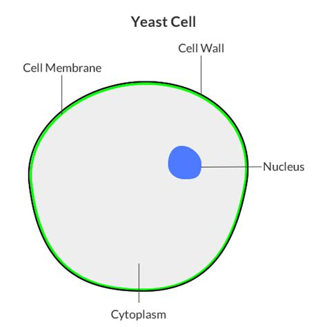 yeast celll revision blog