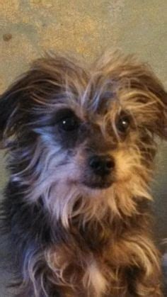 yorkie rescue tennessee yorkie schnauzer mix yorkie terrier schnauzer miniature mix for