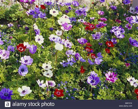garden flower bed flower bed crown anemones anemone coronaria garden bed