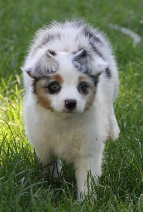 australian shepherd puppies for sale in louisiana 17 best ideas about aussie puppies for sale on mini aussie for sale