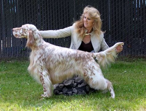 setter dog grooming english setters on pinterest english setter puppies pet