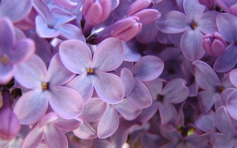 lilac flower purple lilac wallpapers