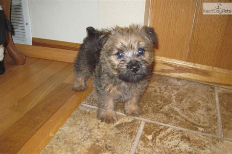 norwich terrier puppies for sale akc norwich terrier breeders related keywords akc norwich terrier breeders