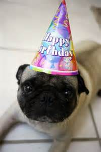 happy pug birthday 17 best images about cutiest funniest dogs in the world pugs on