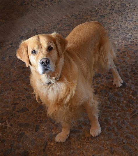 golden retriever house house for golden retriever 28 images golden house retriever golden retriever