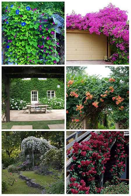 12 Best Climbing Plants For Pergolas And Arbors Iseeidoimake Best Climbing Vines For Pergolas