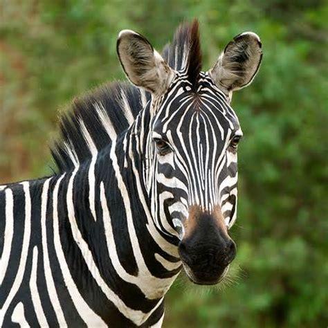 zebra pattern define zebra symbolism zebra meaning spirit animal powers
