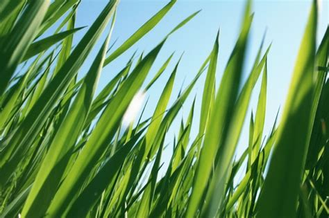 Grass Pictures by Care And Maintenance The Zoysia Farm Nurseries