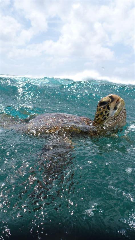 wallpaper turtle surfing water sea ocean underwater