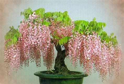 Bonsai Pink a pink wisteria bonsai ikebana bonsai y wisteria and