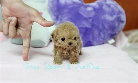 how big do teacup pomeranians grow 1000 images about breeds i like on pomeranians teacup puppies and puppys